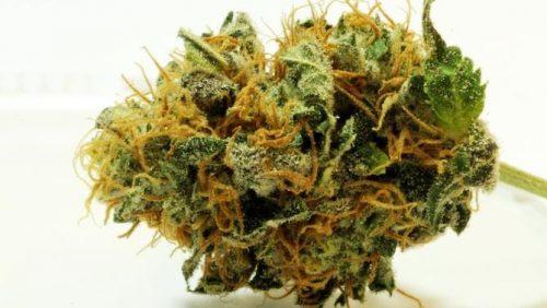 Travis Scott lanzará la marca de cannabis llamada Cactus Farms